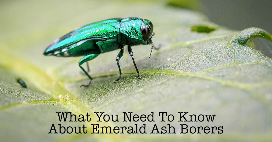 What You Need To Know About Emerald Ash Borers