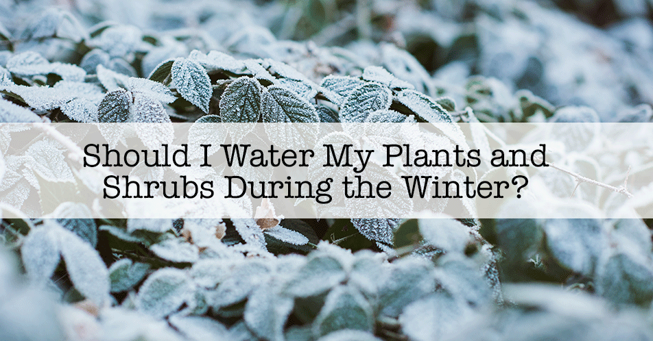 Should I Water My Plants and Shrubs During the Winter?